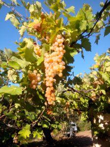 Raisin d'automne et d'or